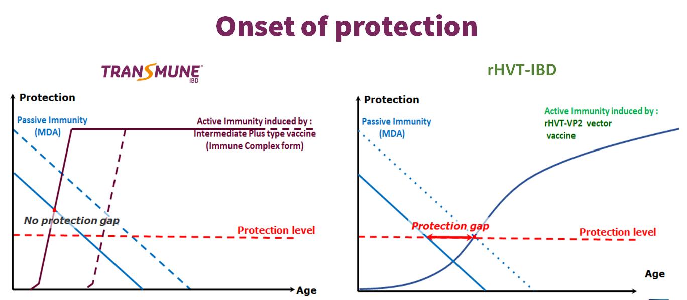 Onset of immunity
